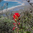 Castilleja-affinis-Indian-paintbrush-Chumash-2013-03-10-IMG 0292