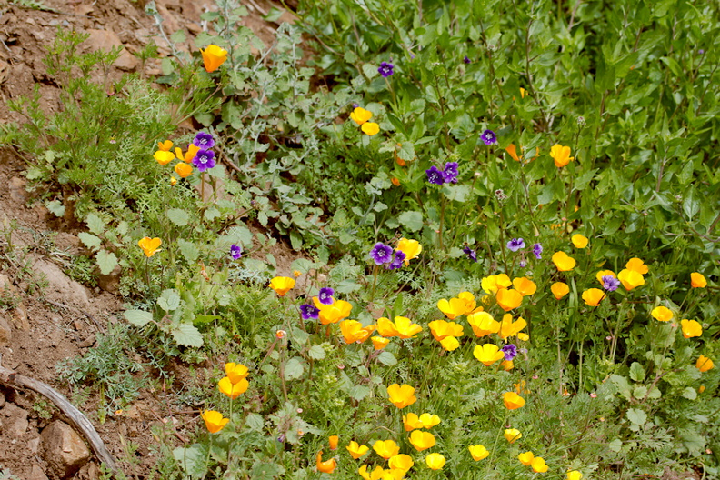 Eschscholzia-californica-California-poppies-and-Phacelia-parryi-Ray-Miller-Trail-Pt-Mugu-2017-02-25-IMG_3747.jpg