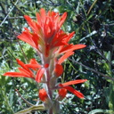 Indian-paintbrush-infl-2003-02-14