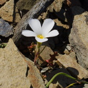 Linanthus-dianthiflorus-ground-pink-white-flowered-Chumash-2013-03-10-IMG 0286