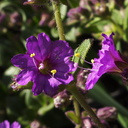 Mirabilis-californica-wishbone-bush-Pt-Mugu-2010-03-12-IMG 3929