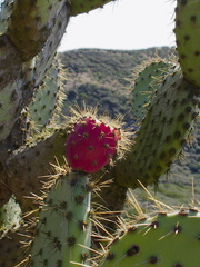 Opuntia-littoralis-with-very-red-fruit-Chumash-2013-02-27-IMG 0058