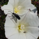 black-beetle-on-field-bindweed-Convolvulus-arvensis-Chumash-2013-03-10-IMG 0294