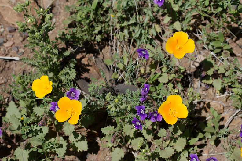 Parrys-phacelia-and-California-poppy-Ray-Miller-Trail-Pt-Mugu-2016-03-24-IMG 3080