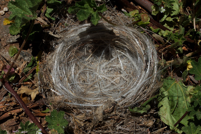 birds-nest-lined-with-synthetic-fibers-Ray-Miller-Trail-Pt-Mugu-2016-03-24-IMG 3092