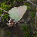 butterfly-green-on-Adenostoma-fasciculatum-chamise-Chumash-Trail-Santa-Monica-Mts-2013-03-25-IMG 0392