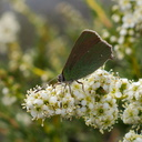 butterfly-green-on-Adenostoma-fasciculatum-chamise-Chumash-Trail-Santa-Monica-Mts-2013-03-25-IMG 0396