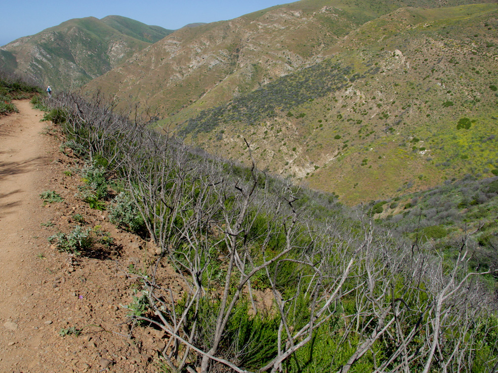 stump-sprouts-and-regrowth-after-Spring-Fire-Chumash-Trail-Pt-Mugu-2017-03-27-IMG 8048