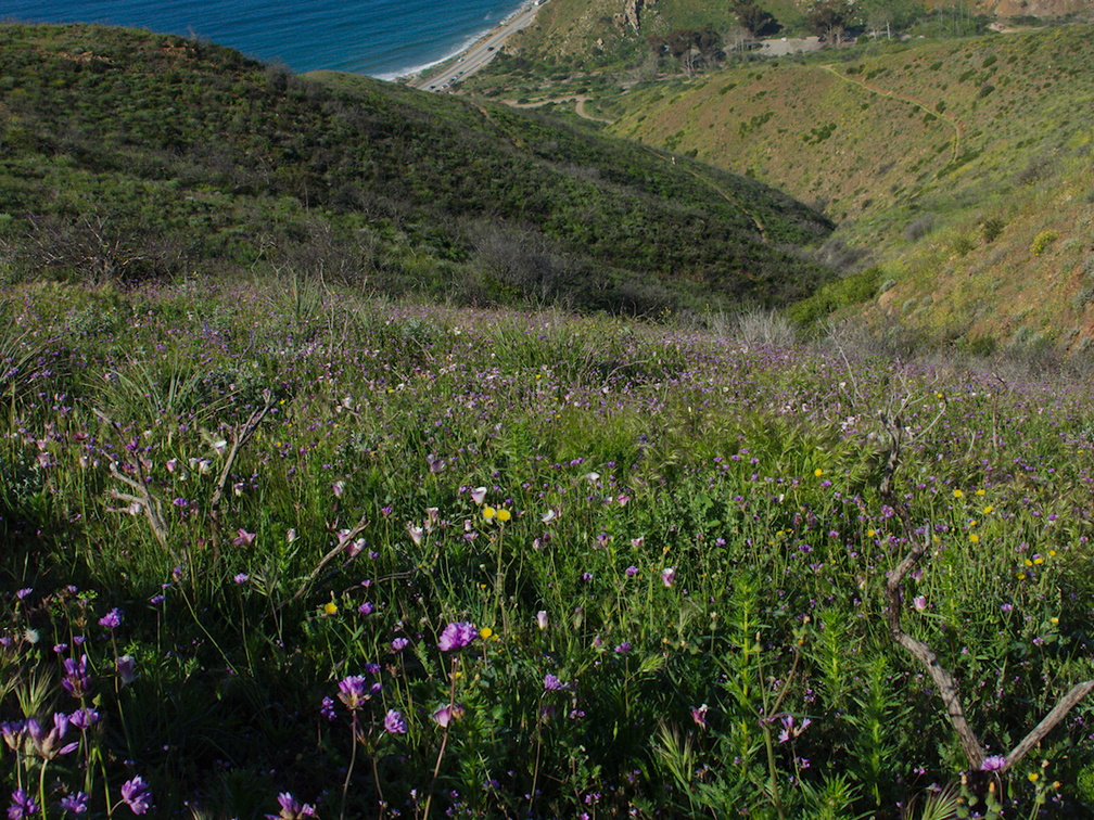 view-down-to-ocean-flowering-meadow-Calochortus-catalinae-and-wild-hyacinth-Chumash-Trail-Pt-Mugu-2017-03-27-IMG 8030
