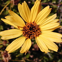 Encelia californica fl2-2003-05-01