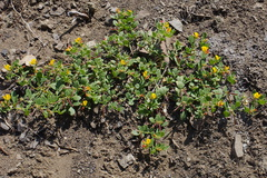 Lotus-scoparius-deerweed-Ray-Miller-Trail-Pt-Mugu-2014-05-21-IMG 3864