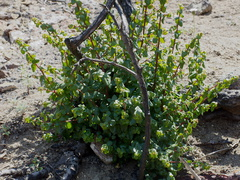 Rhus-integrifolia-lemonadeberry-stump-sprouting-Ray-Miller-Trail-Pt-Mugu-2014-05-21-IMG 3862