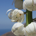 Yucca-whipplei-flower-detail-Ray-Miller-Trail-Pt-Mugu-2014-05-21-IMG 3859