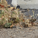 Callipepla-californica-California-quail-with-chicks-Sycamore-Cove-Pt-Mugu-2012-06-04-IMG 5163