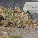 Callipepla-californica-California-quail-with-chicks-Sycamore-Cove-Pt-Mugu-2012-06-04-IMG 5166