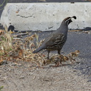 Callipepla-californica-California-quail-with-chicks-Sycamore-Cove-Pt-Mugu-2012-06-04-IMG 5168