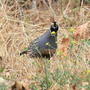 Callipepla-californica-California-quail-with-chicks-Sycamore-Cove-Pt-Mugu-2012-06-04-IMG 5187