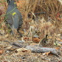 Callipepla-californica-California-quail-with-chicks-Sycamore-Cove-Pt-Mugu-2012-06-04-IMG 5225