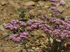 Chorizanthe-staticoides-Turkish-rugging-Chumash-2014-06-02-IMG 3958