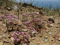 Chorizanthe-staticoides-Turkish-rugging-Chumash-2014-06-02-IMG 3962