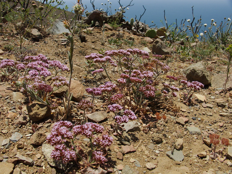 Chorizanthe-staticoides-Turkish-rugging-Chumash-2014-06-02-IMG_3962.jpg