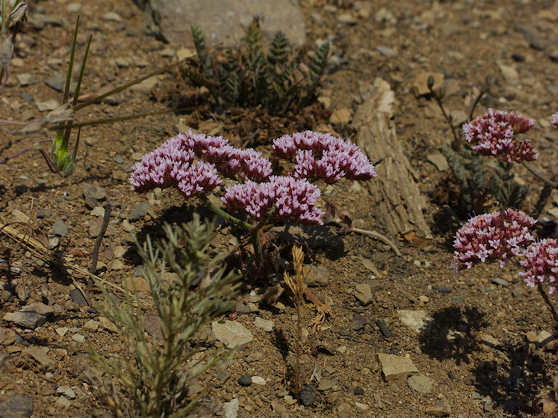 Chorizanthe-staticoides-Turkish-rugging-Chumash-2014-06-16-IMG_4072.jpg