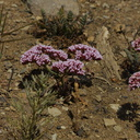 Chorizanthe-staticoides-Turkish-rugging-Chumash-2014-06-16-IMG 4072