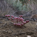 Chorizanthe-staticoides-Turkish-rugging-Serrano-Canyon-Pt-Mugu-2012-06-04-IMG 1947