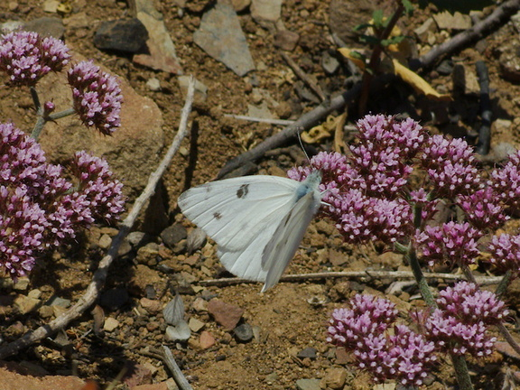 Chorizanthe-staticoides-Turkish-rugging-with-Pieris-cabbage-butterflyChumash-2014-06-02-IMG 3956