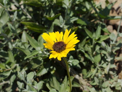 Encelia-californica-bush-sunflower-Chumash-2014-06-16-IMG 4105