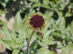Encelia-californica-bush-sunflower-Chumash-2014-06-16-IMG 4107