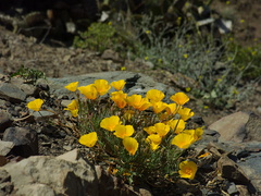 Eschscholtzia-californica-California-poppy-in-full-yellow-bloom-Chumash-2014-06-16-IMG 4067