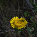 Grindelia-camporum-big-gum-plant-Sycamore-Cove-Overlook-Pt-Mugu-2012-06-12-IMG 2065
