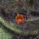 Opuntia-littoralis-prickly-pear-orange-flower-Pt.Mugu-2012-06-14-IMG 2085