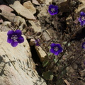 Phacelia-parryi-looking-indescribably-blue-Chumash-2014-06-16-IMG 4085