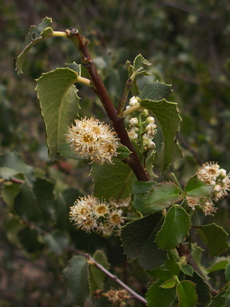 Prunus-ilicifolia-holly-leaved-cherry-Pt.Mugu-2012-06-14-IMG 2133