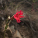 Silene-laciniata-fringed-Indian-pink-Pt.Mugu-2012-06-14-IMG 2102