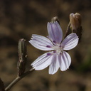 Stephanomeria-exigua-small-wire-lettuce-Chumash-2014-06-16-IMG 4061