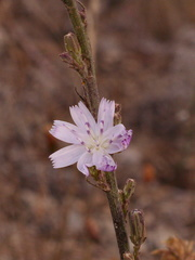 Stephanomeria-exigua-wirelettuce-Chumash-2015-06-22-IMG 5096