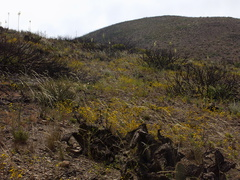flowering-hillside-mainly-yellow-tarweed-Chumash-2014-06-16-IMG 4051