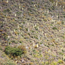 hillside-with-blooming-Yucca-whipplei-Serrano-Canyon-Pt-Mugu-2012-06-04-IMG 5158