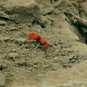 red-velvet-ant-Chumash-trail-2015-06-26-IMG 5132