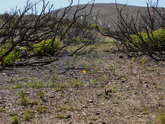 view-of-regenerating-hillside-one-year-after-fire-Chumash-2014-06-02-IMG 3907