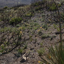 view-regenerating-hillside-one-year-after-fire-with-sticky-monkeyflower-Chumash-2014-06-02-IMG 3926