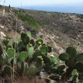 Opuntia-littoralis-coast-prickly-pear-Chumash-2012-07-23-IMG 2305