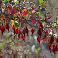 Ribes-speciosum-California-fuchsia-fruits-Chumash-trail-2015-07-10-IMG 1051
