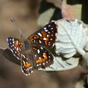 checkerspot-butterfly-Chumash-trail-2015-07-10-IMG 1046