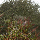 dew-on-webs-Chumash-trail-Pt-Mugu-2012-08-23-IMG 2705