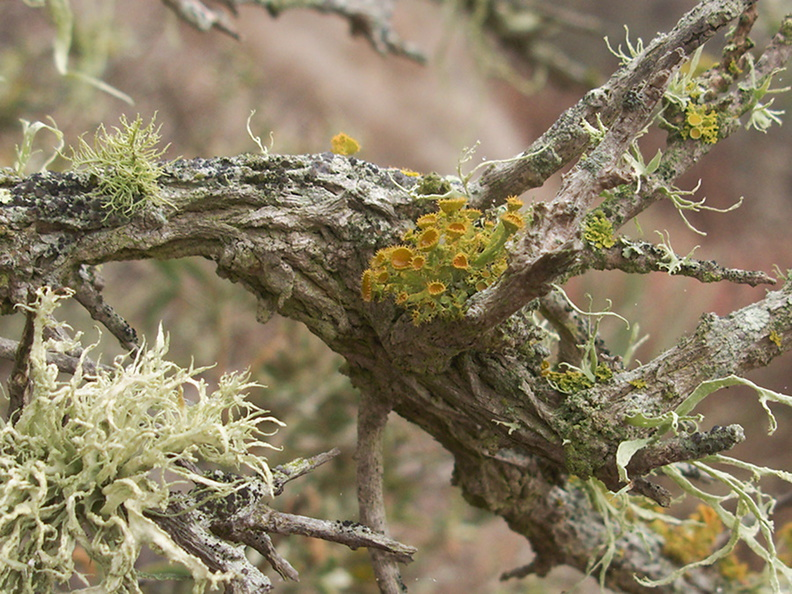 golden-eye-lichen-Teloschistes-chrysophthalmus-and-armored-fog-lichen-Niebla-homalea-Chumash-trail-Pt-Mugu-2012-08-23-IMG_2724.jpg