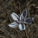 Stephanomeria-virgata-twiggy-wreath-plant-Chumash-Trail-2012-10-16-IMG 2828